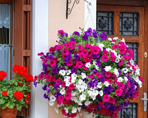 Một số lưu ý khi chăm sóc hoa dạ yến thảo kép