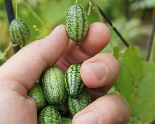 Quy trình trồng dưa hấu tí hon đúng kĩ thuật