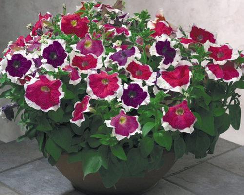 Ý nghĩa của hoa dạ yến thảo