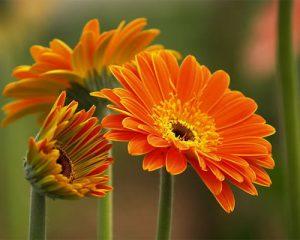 Cách trồng hoa đồng tiền