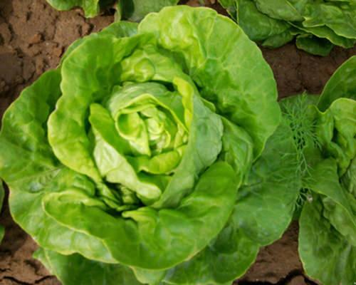 Danh sách của những loại rau có thể trồng vào tháng 11