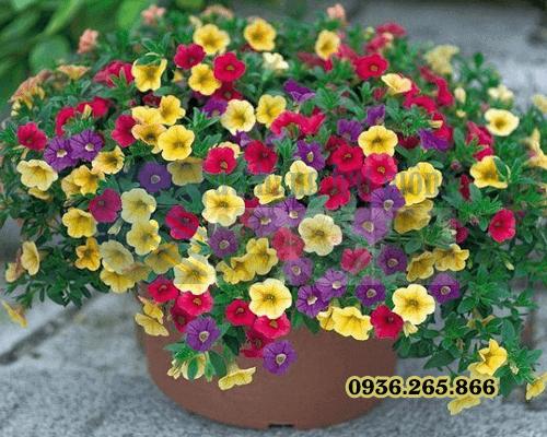 Bán Hạt giống hoa triệu chuông mix Cửa hàng hạt giống Mỹ Đình