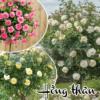 Hạt giống hoa hồng thân gỗ Cửa hàng hạt giống Mỹ Đình