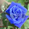 Bán Hạt giống hoa Hồng xanh dương đẹp Hà Nội tphcm