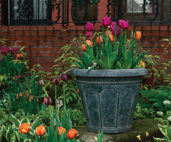 Hướng dẫn trồng củ tulip vào chậu đất đẹp
