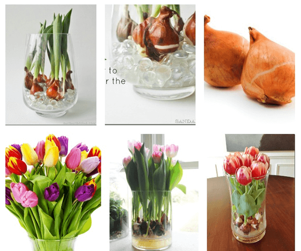 Bảng giá Sỉ - Lẻ củ tulip giống Hà Lan chuẩn