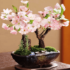 Bán hạt giống Hoa Anh đào Nhật