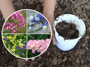 Cách trồng hoa salem từ hạt