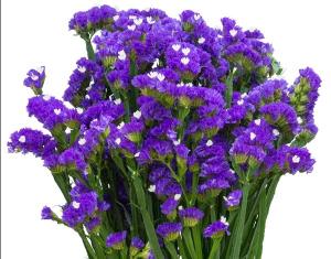 Hình ảnh hoa Salem màu xanh cực đẹp