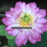 Mình trồng Sen mini Nhật nở hoa sau hơn 3 tháng
